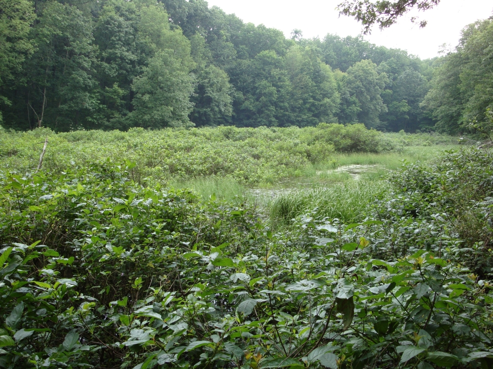 A photo of the Inundated Shrub Swamp natural community type