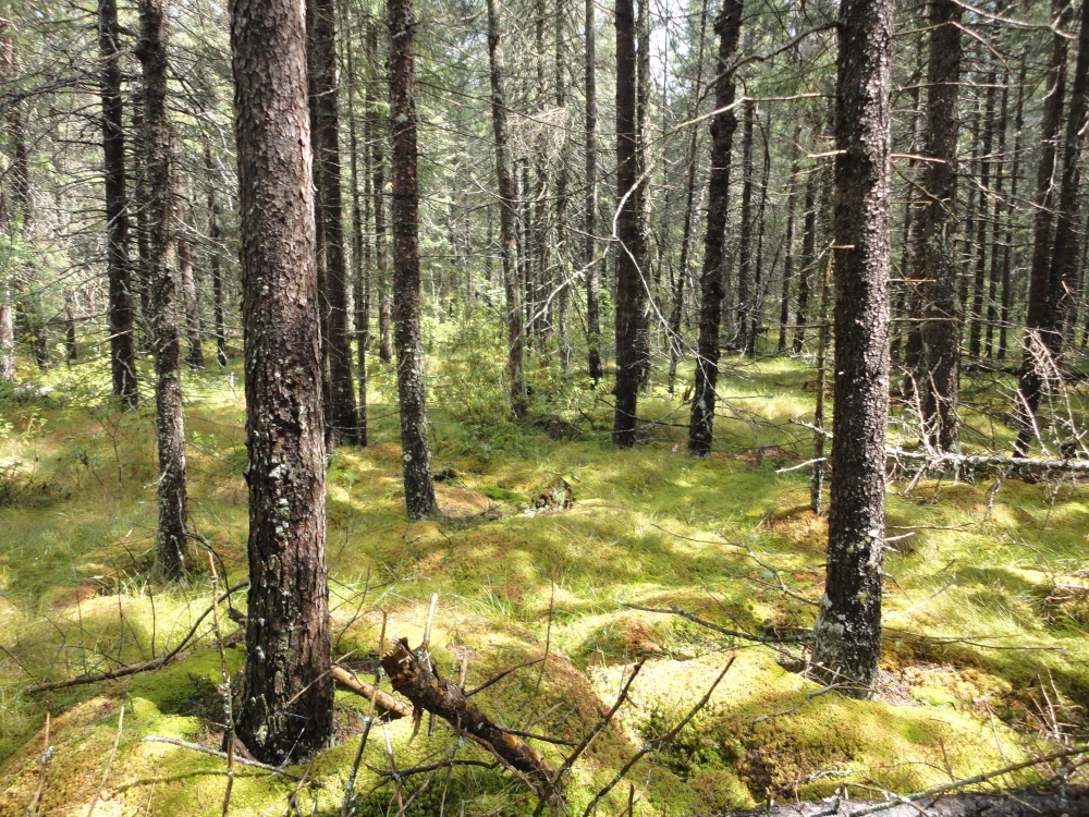 A photo of the Poor Conifer Swamp natural community type