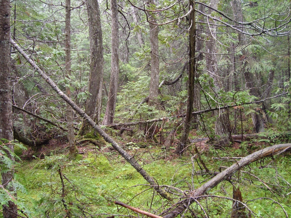A photo of the Rich Conifer Swamp natural community type