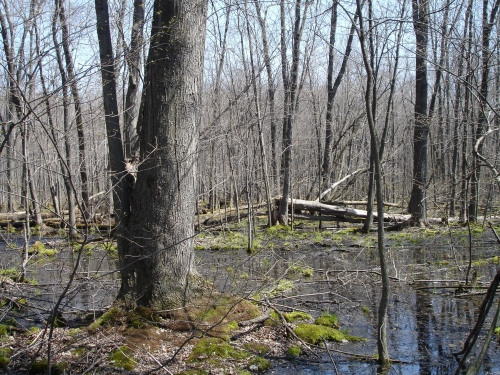 A photo of the Southern Hardwood Swamp natural community type